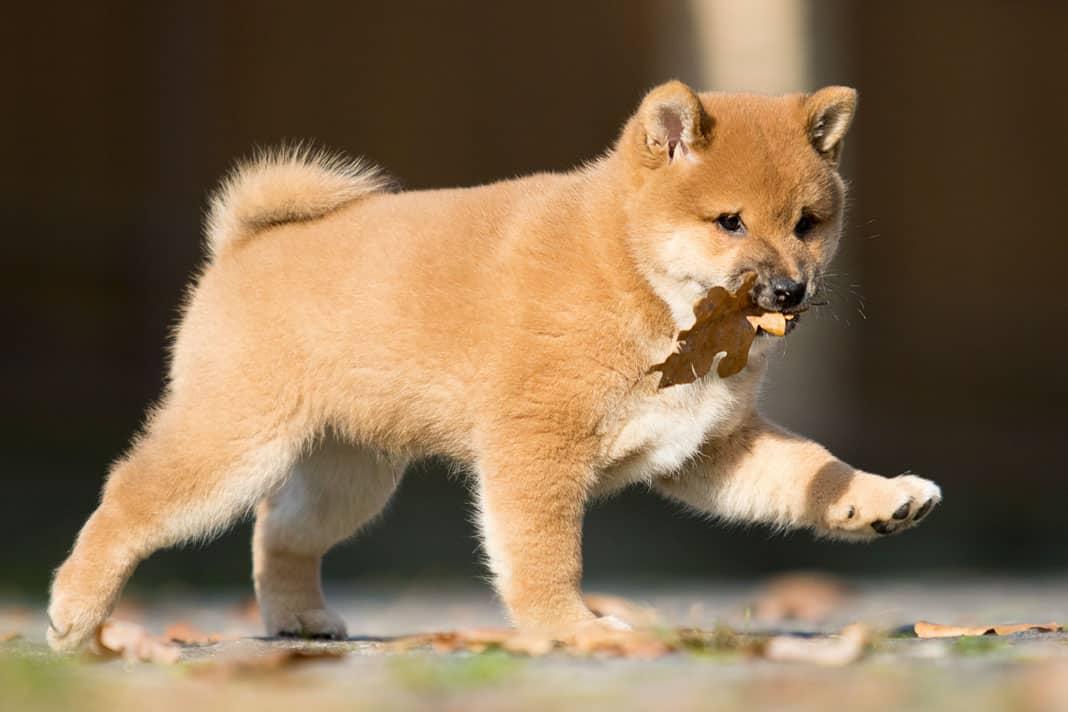 cute shiba inu puppy with leaf