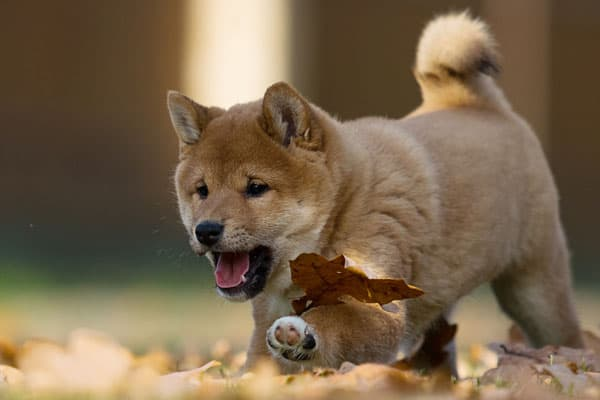 shiba inu puppy playing with leaves