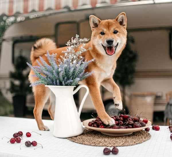 shiba inu puppy standing on table