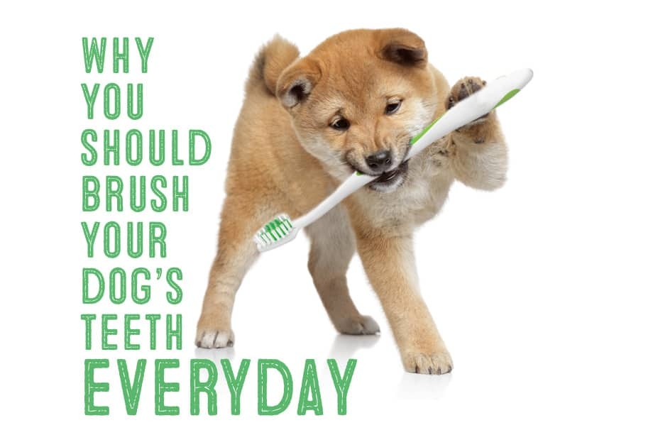 brush shiba teeth everyday