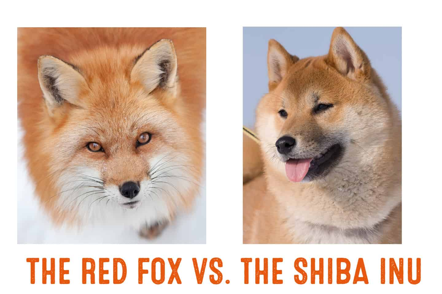 difference between shiba inu and fox