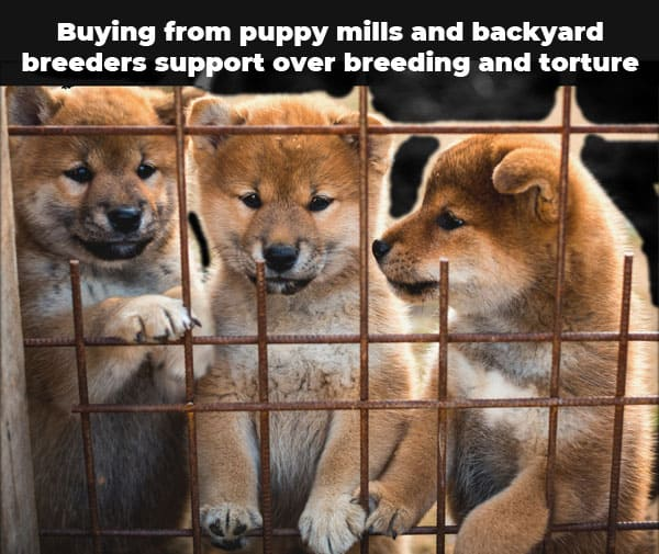 puppy mill shiba inus