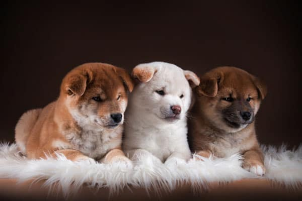 cute cream and red shiba inu puppies