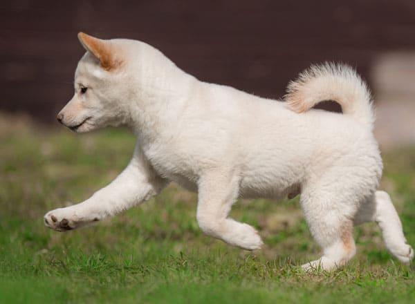 cream shiba inu puppy  running