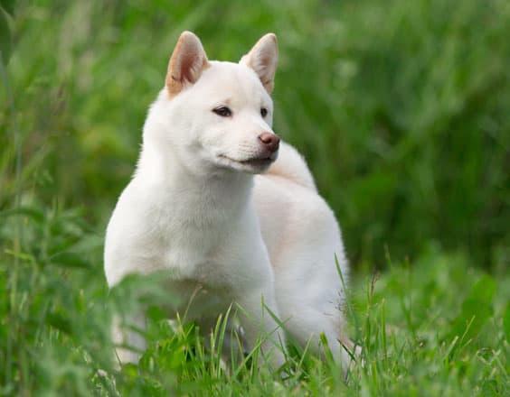 white cream shiba inu