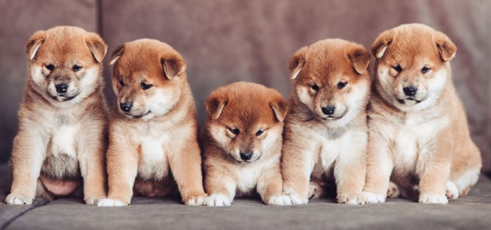 adorable group of young shiba inu puppies