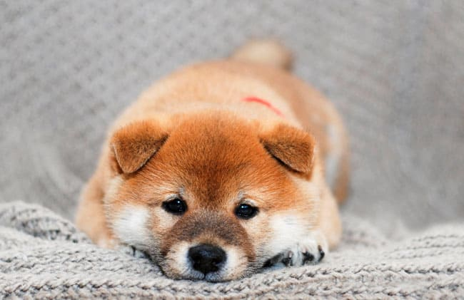 darling shiba inu puppy lying down