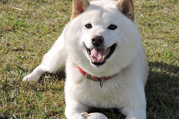 smiling adult cream shiba inu