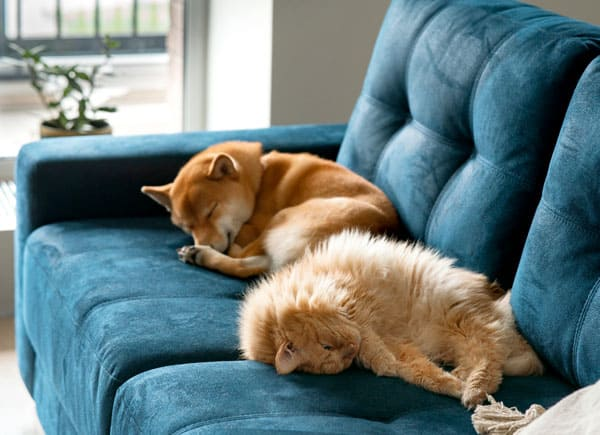 shiba inu and cat lying on couch