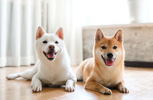 cream shiba inu and red shiba inu friends