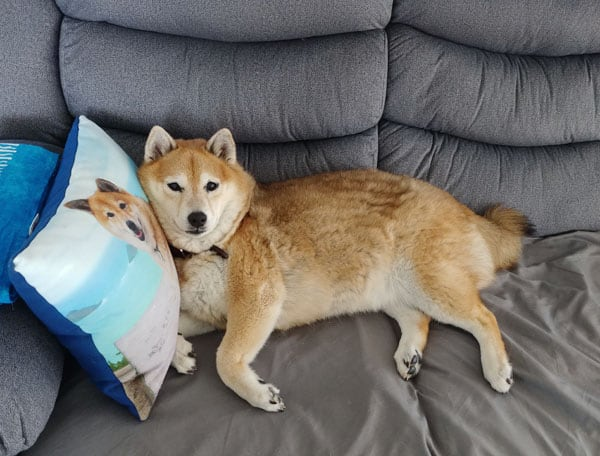 shiba inu enjoying creature comforts