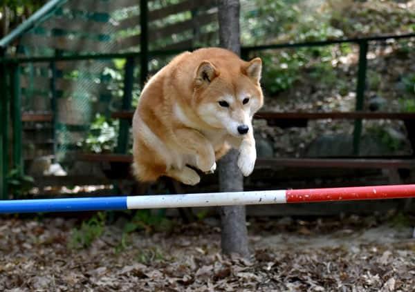 shiba inu jumping agility rod
