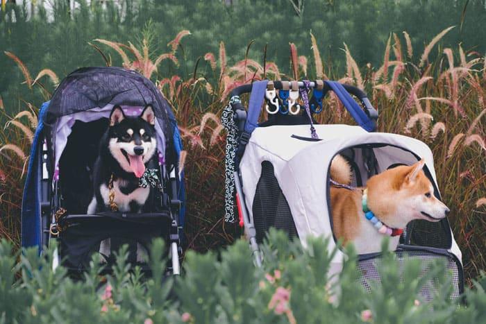 shiba inus in doggy stroller