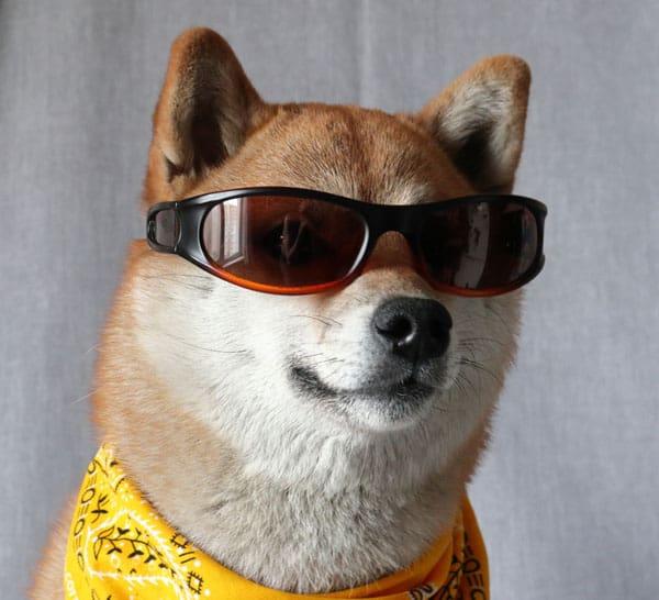 cool red shiba inu with sunglasses and bandana