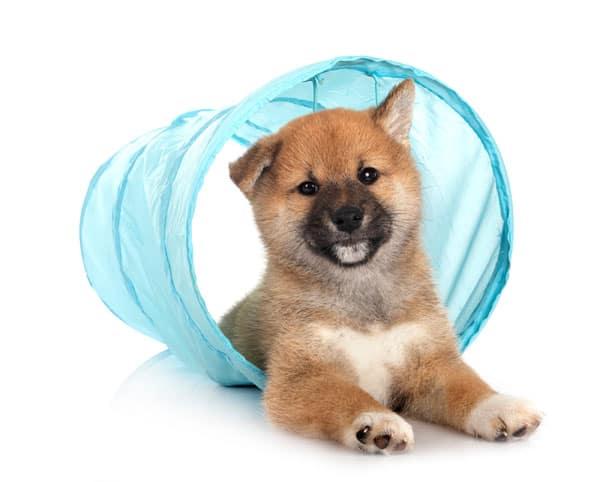 shiba inu puppy agility tunnel