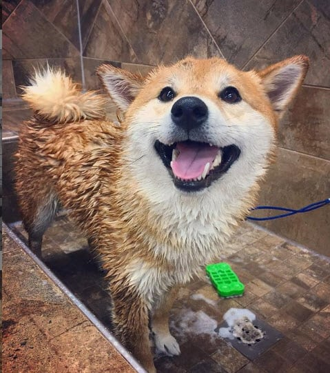 Kira shiba inu loves bath time