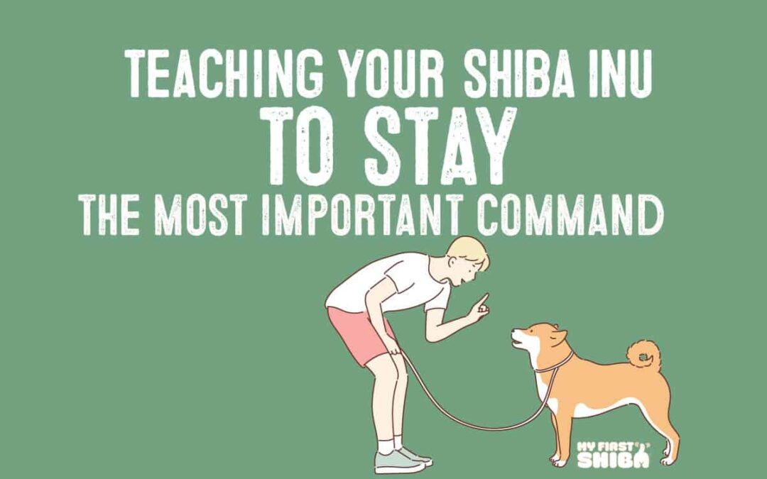 teaching shiba inu to stay