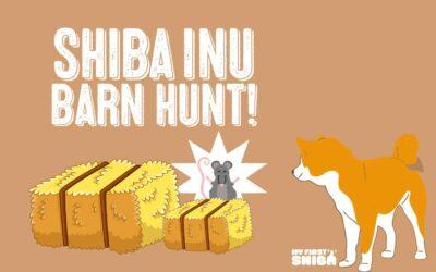Shiba Inu Barn Hunting!