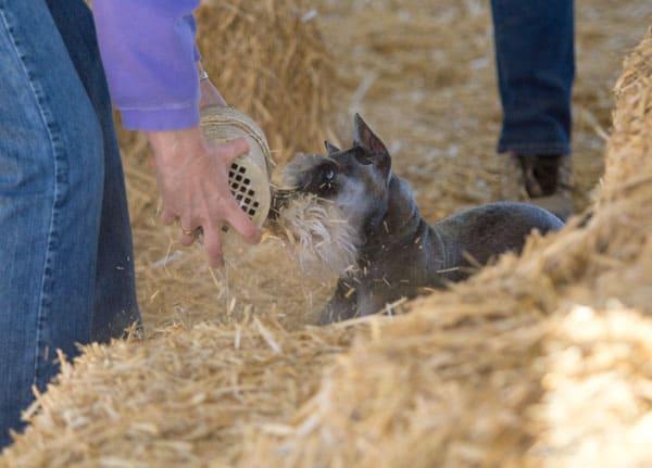barn hunting terrier