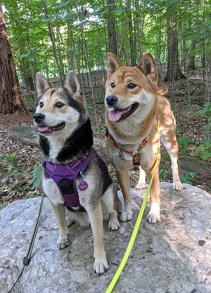iko and keiko shiba in barn hunt