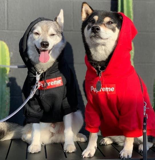Supreme Shiba and Klee Kai