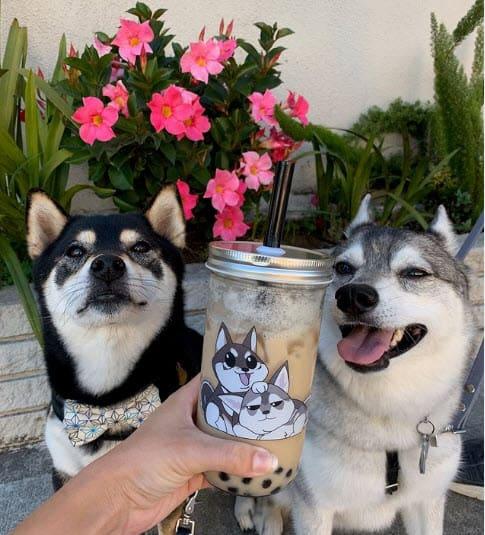 Shiba and Klee Kai dog