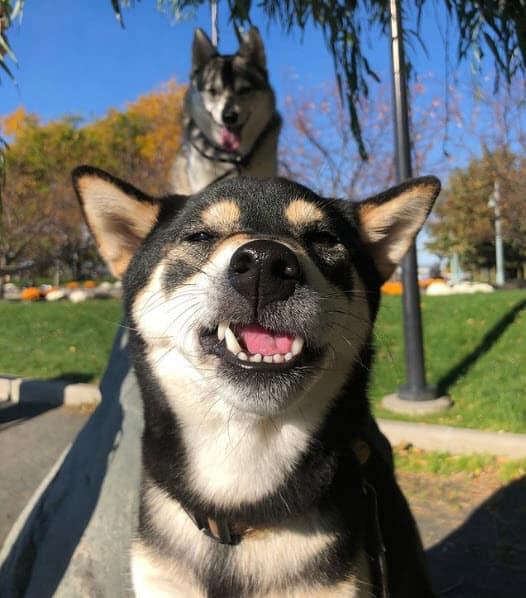 Black and tan shiba inu grinning