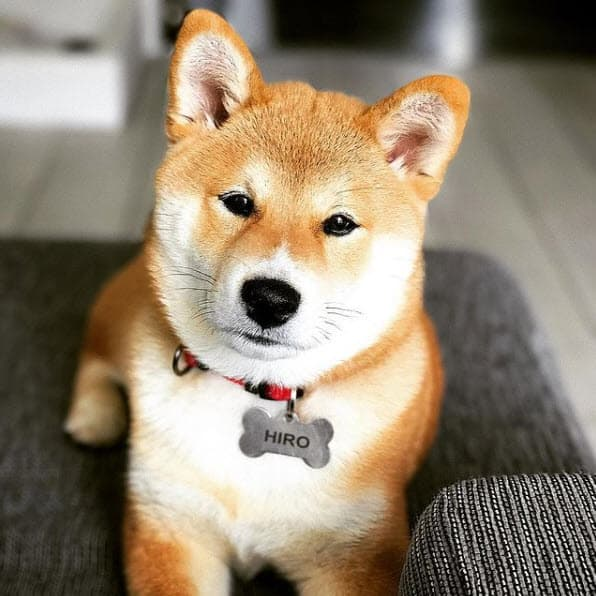 adorable red shiba inu puppy