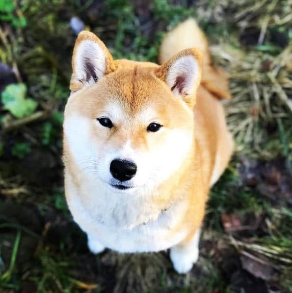 gorgeous red adult shiba inu