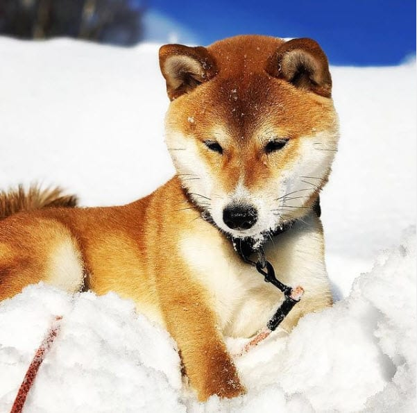 red shiba inu in the snow