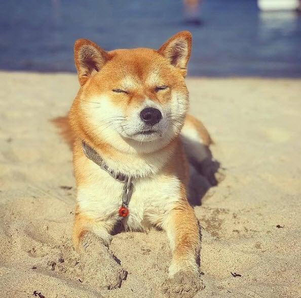 red shiba inu on beach sand