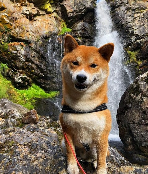 Beautiful red shiba inu from sweden
