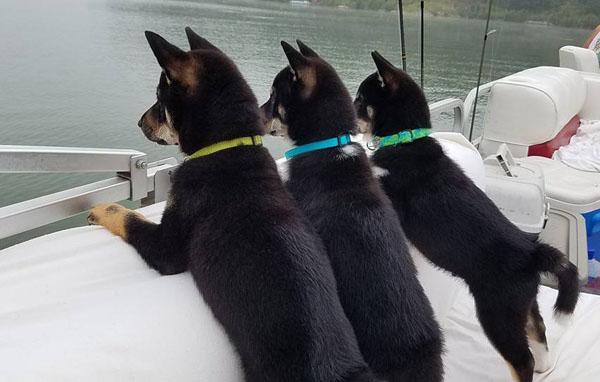 shiba inu black and tan puppies