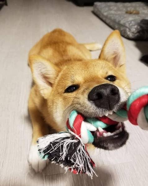 shiba inu playing tug
