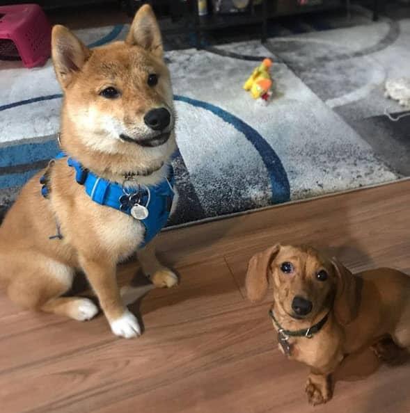 shiba inu and dachshund