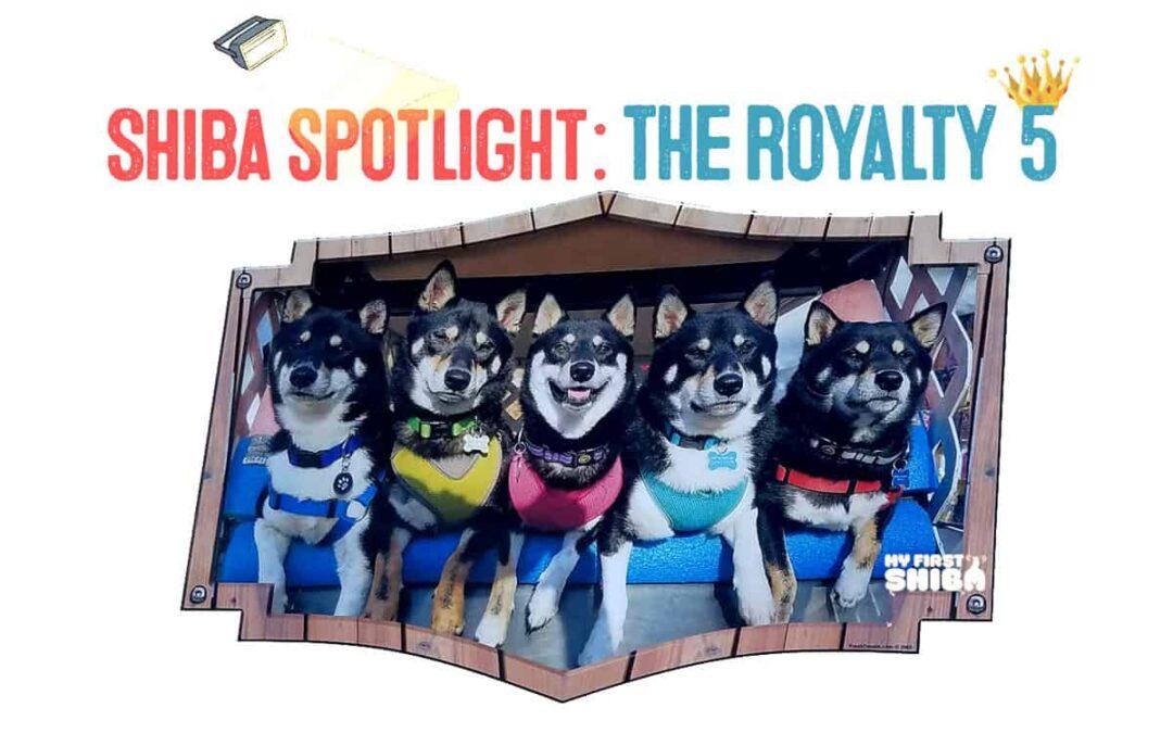 The royalty 5 - black and tan shiba inu family