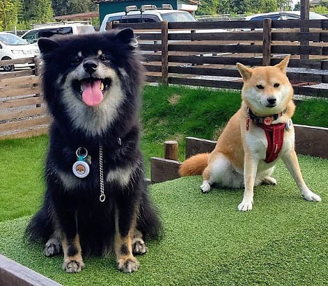 Boo the long haired shiba inu with friend
