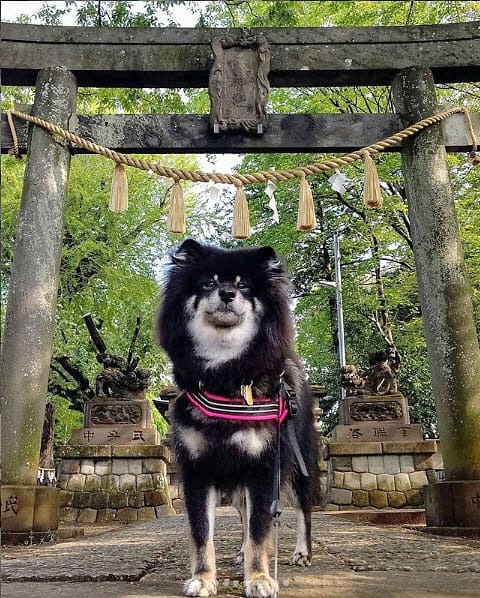 boo the long haired wooly black and tan shiba inu