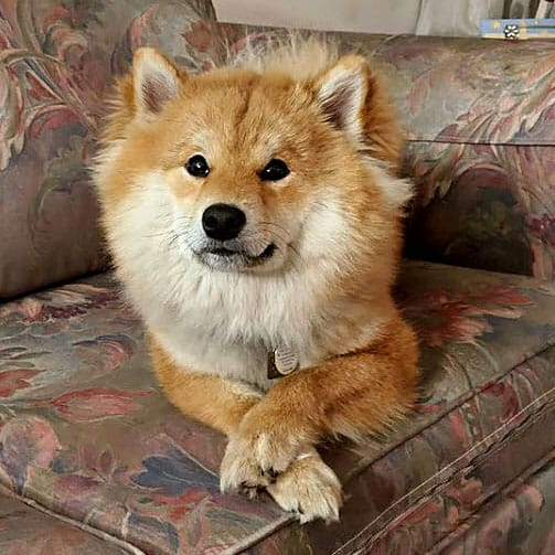 long haired red wooly shiba inu