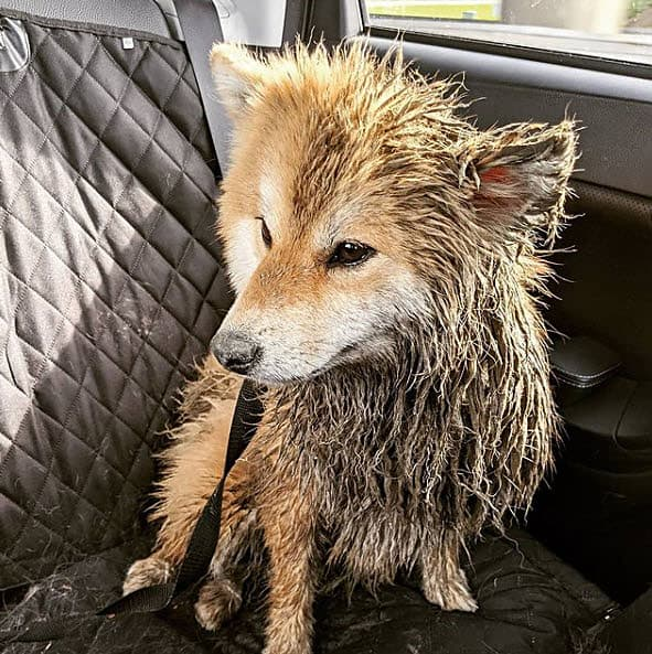 muddy red long haired wooly shiba