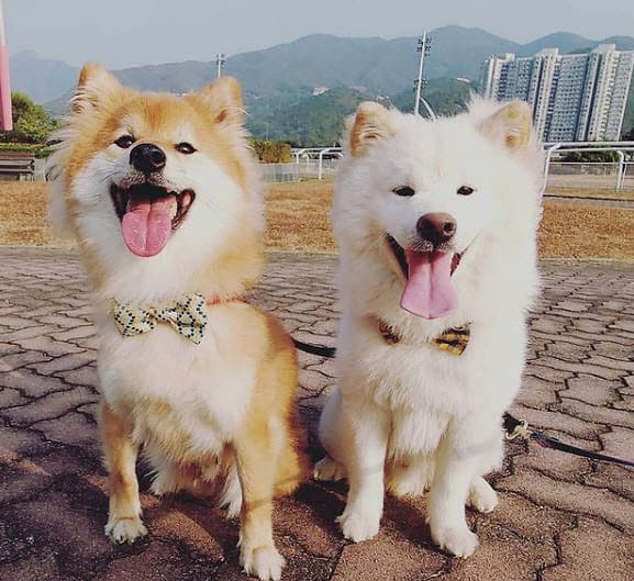 the wooly bros long haired shiba inu