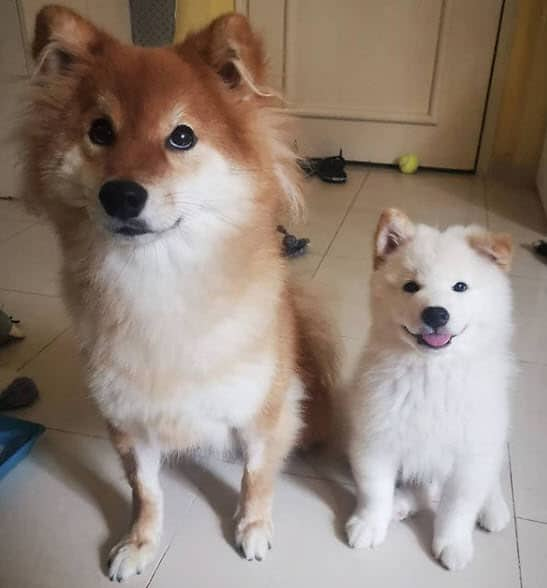 wooly shiba inus the wooly bros