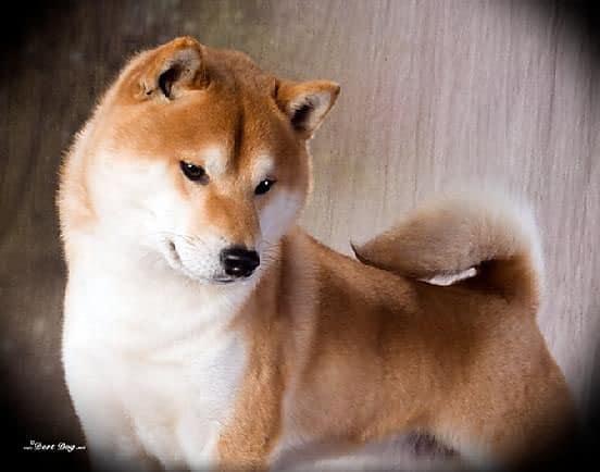 taichung Shiba Inu Oso Handsome