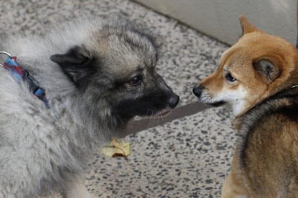 cautious Shiba Inu not sure of Keeshond