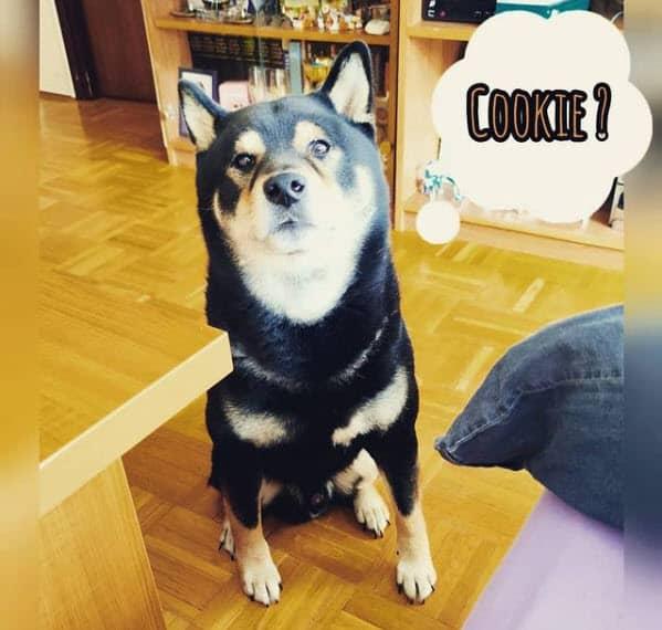 shiba inu wanting a cookie burakki san