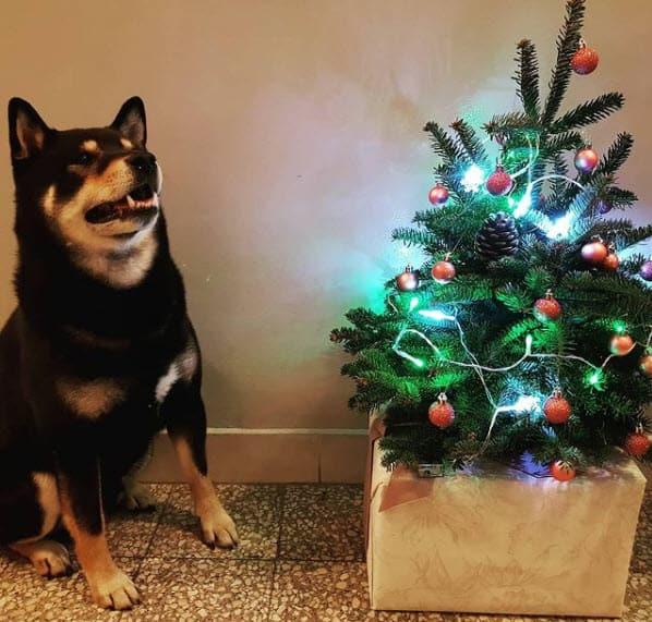 shiba inu christmas black and tan burakki