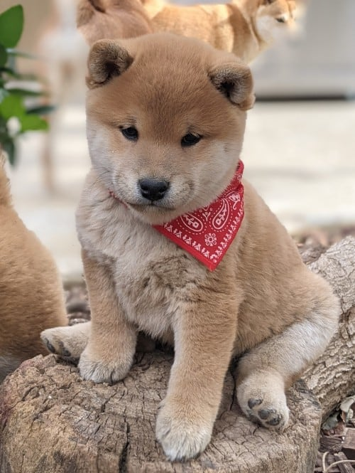 beautiful shiba inu puppy for Jogoso Shiba