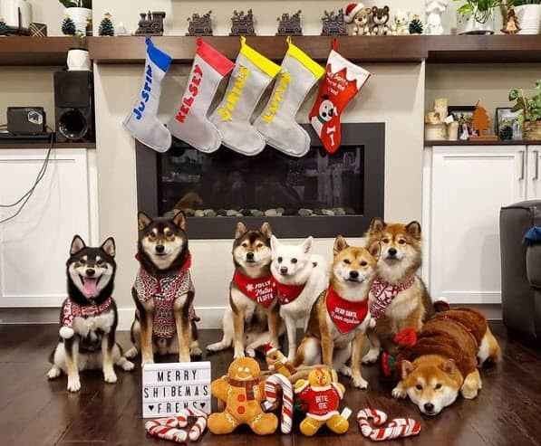 shiba inu christmas party
