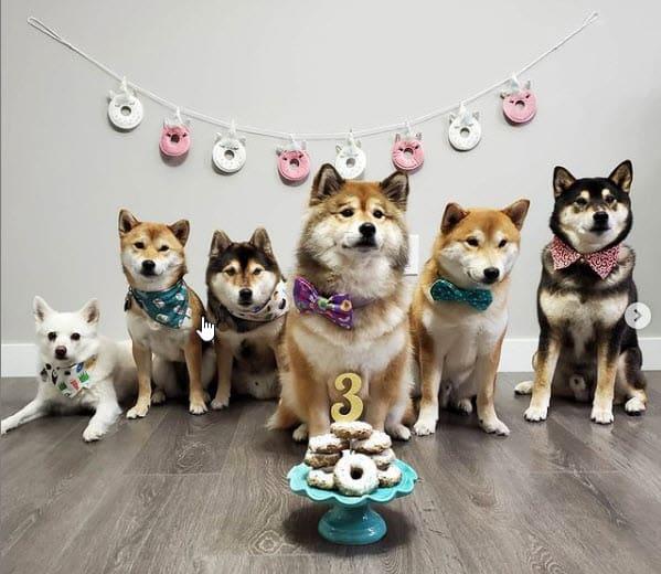 awesome shiba inu birthday party