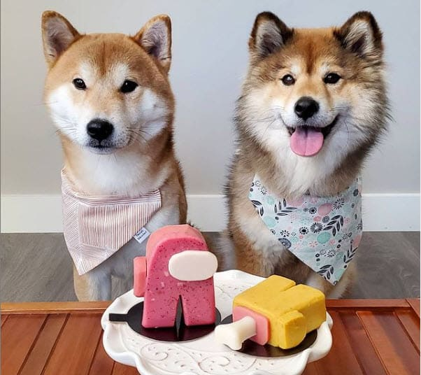 shiba inu momo and friend yummy treat